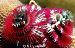 Christmas Tree Worms, Just the right color for Christmas. by Marylin Batt 